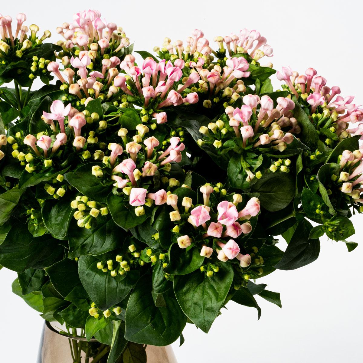 Bloom Flower Delivery | Ballet Slipper Pink Bouvardia