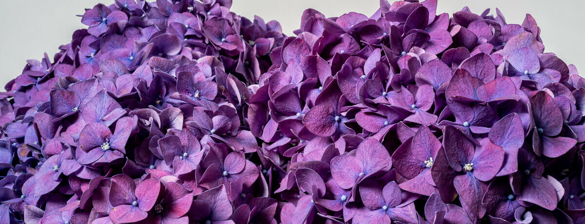 Hydrangea - Send cut to order, luxury peony flowers direct from the growers and delivered by UK's first online florist to be entirely sustainable and 100% plastic-free.